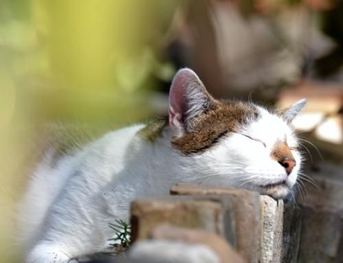 Tierärztin: Katzen können Menschen nicht mit Covid-19 anstecken